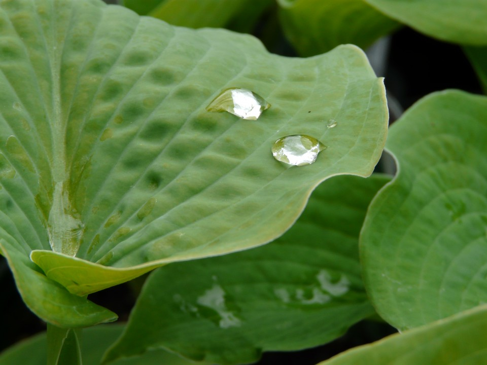 Hosta with water droplets