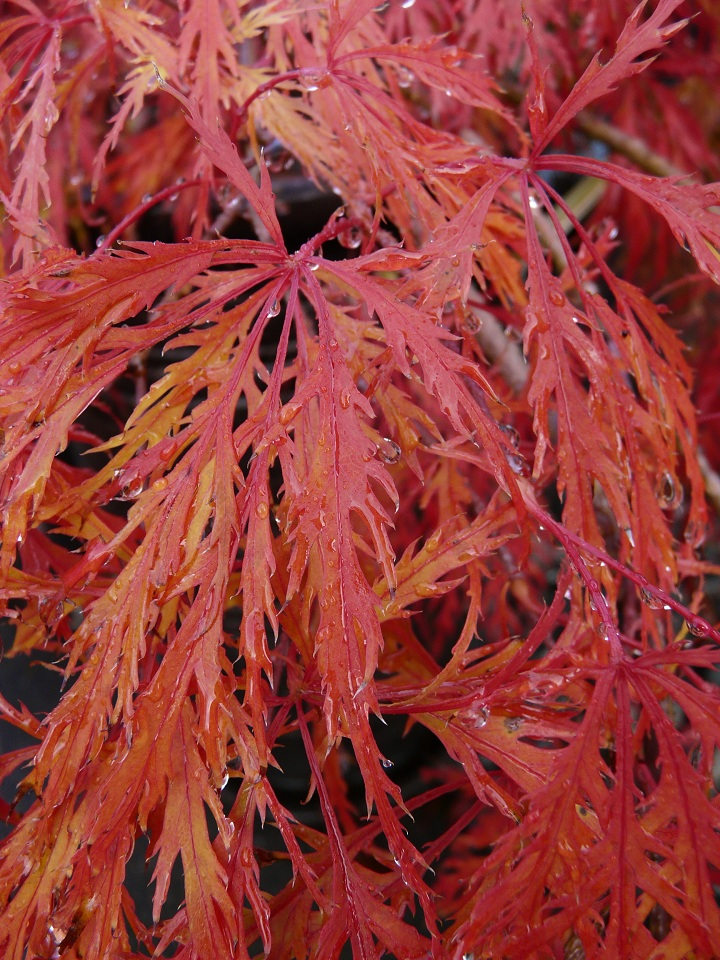 Famous japanese maple tree Japanese maple leaf