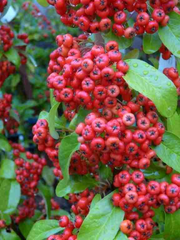 Deer Resistant Plants Cultivate Garden Amp Gift