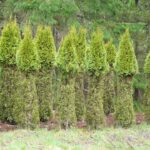 Smaragd hedging deer pruned