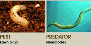 grub vs nematode