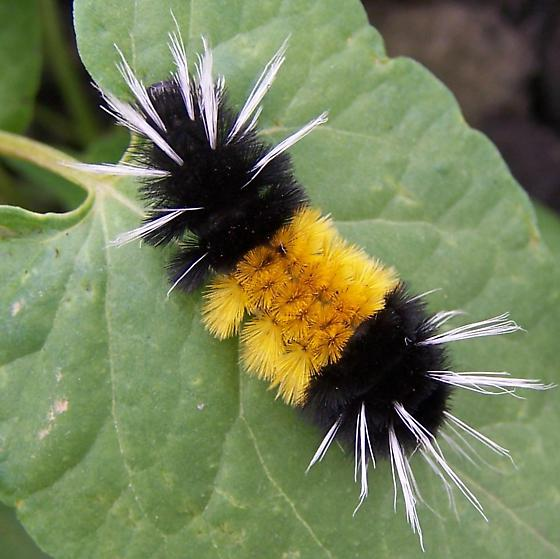 All Black Woolly Bear Caterpillars: Tigers & Bears In The Garden