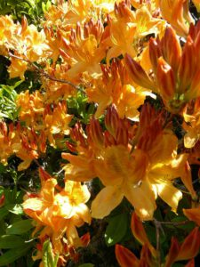 Azalea decid Milner Gardens
