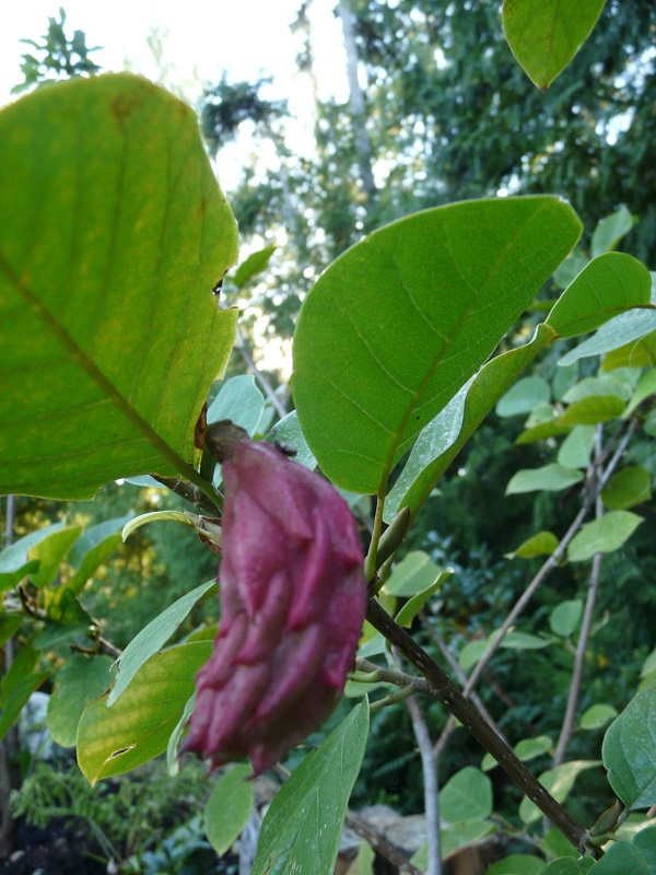 Magnolia Sieboldii Cultivate Garden Gift