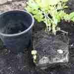 z Potato planting 5
